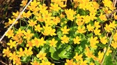 herbívoro : Caltha palustris growing in swamp. Spring flowers. Marsh Marigold flowers. Yellow flowers of Marsh Marigold. Flowering gold color plants in early spring by river during flooding