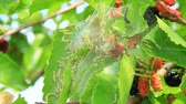 delisious : Caterpillars eat leaves of mulberry. Branch with ripe mulberry and Bombyx mori. Insects pests eating up green leaves of mulberry tree. Silkworms eating leaves Stock Footage