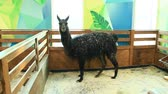 goatee : Lama in zoo. Black lama living in zoo