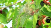 nourishment : Caterpillars eat leaves of mulberry. Branch with ripe mulberry and Bombyx mori. Insects pests eating up green leaves of mulberry tree. Silkworms eating leaves Stock Footage