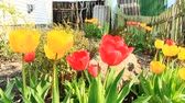 canteiro de flores : Yellow and red tulips on a flower bed in April. Red and yellow tulips planted in garden. Springtime garden. Colorful tulips in flower bed. Beautiful spring flower tulips in garden