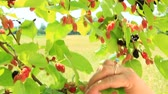 dut : Branch of ripe mulberry. Berries on tree. Ripe mulberry hanging on tree. Crop of mulberry Stok Video