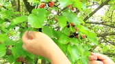 delisious : Female hand plucking ripe mulberry from tree. Berries of mulberry. Mulberry tree with ripe berries. Collecting crop of sweet berries hanging on tree
