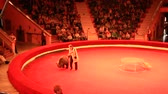 Trained bear somersaulting on arena in circus. Performance with trained bear in circus