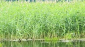 brushwood : Pond with high reeds. Rushy lake. Wild nature. Lake with green brushwood of canes