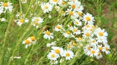 White chamomiles in bouquet blossom in summer field. Beautiful bouquet with white chamomiles. Chamomile flowers. White field flowers in summer close-up