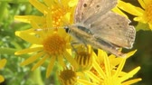 Butterfly collecting nectar from flowers of Senico jacobaea. Flowers of Jacobaea vulgaris. Macro of yellow flowers Senico jacobaea and butterfly