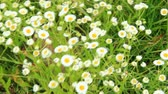 virág feje : White wild chamomiles blossom in summer field. Beautiful white chamomiles. Chamomile flowers. White field flowers in summer closeup Stock mozgókép