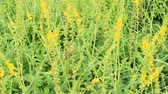 esverdeado : Yellow flowers of Agrimonia eupatoria blossoming in field. Herbal plant common agrimony Agrimonia eupatoria. Common agrimony yellow flowers close up. Medicinal plant Vídeos