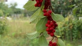 liána : Clusters of red schisandra. Clusters of ripe schizandra. Crop of useful plant. Schizandra chinensis plant with fruits on branch. Red schizandra hang in row on green branch. Schizandra omija of Korea Dostupné videozáznamy