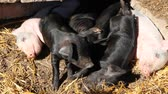 hog : Pigs play and sleep in yard of farm. Pink piglets bask in sun and black jolly run. Funny pigs. Young baby piglets play in yard Stock Footage
