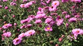 canteiro de flores : Aster Autumn Flowers. Big bush of red aster blooming in yard in September. Bright pink flower asters closeup. Autumnal flowers sway in wind
