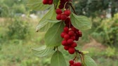 összetevő : Branches of red schisandra. Clusters of ripe schizandra. Crop of useful plant. Red schizandra hang in row on green branch. Schizandra chinensis plant with fruits on branch