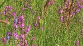 chamaenerion : Flowers of Chamaenerion angustifolium blooming in summer field. Product for natural tea. Chamaenerion angustifolium closeup. Herbal medicine. Flowers of fireweed blossoming in field