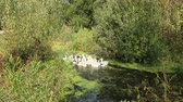 kümes hayvanları : Flight of domestic geese swimming on river. Flock of white and grey geese swimming on pond Stok Video