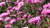 Aster Autumn Flowers. Big bush of red aster blooming in yard in September. Bright pink flower asters closeup. Autumnal flowers sway in wind