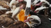 Ducks geese and muscovy ducks eat pumpkin in poultry. Poultry feeds in yard. Domestic birds eating. Farm birds eating raw pumpkin on poultry closeup