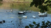 vários : Geese swimming on rural pond. Flight of domestic geese swimming on river. Flock of white and grey geese swimming on pond. Domestic birds