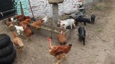 Hens eat in poultry yard. Domestic birds. Poultry feeding on farm. Hens and rooster on farm