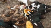 kaczka : Ducks geese and muscovy ducks eat pumpkin in poultry. Poultry feeds in yard
