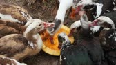 kachňátko : Ducks geese and muscovy ducks eat pumpkin closeup in poultry. Poultry feeds in yard