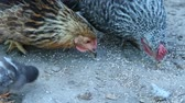 pintinho : Chicken with chicks pecking grain in poultry. Hen mother. Hen with chickens. Closeup of mother chicken with baby chicks eating grain on ground. Chicks with their mom eating at farm