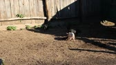 Piglets playing and jolly run in farm yard. Funny pigs. Baby piglets play in yard