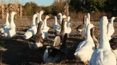 palmado : Geese go in poultry yard. Domestic birds. Poultry feeding on farm Vídeos