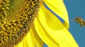 summer : Sunflower and working bee slow motion, blue sky and sunny weather
