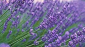 weather : Beautiful Blooming Lavender Flowers swaying in the wind. Close Up Dolly Shot. SLOW MOTION 120 fps. Lavender Season Plateau du Valensole, Provence, South France, Europe. Cinematic Nature Background.