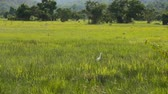 veld : white egret bird in green field. Stock Footage