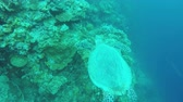 Мауи : Sea turtle swimming by coral reef.Diving and snorkeling in the tropical sea.