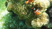 clownfish : Clownfish on the soft coral,anemone. Stock Footage