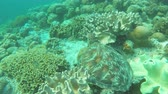 Мауи : Sea turtle resting on soft corals.Diving and snorkeling in the tropical sea.