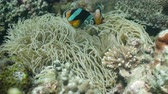 анемон : Clown Anemonefish, in their Sea Anemone. Amphiprion percula.Underwater coral garden with anemone and a pair of yellow clownfish. Clown Anemonefish, swimming among the tentacles of its anemone home. Travel concept. 4K video. Стоковые видеозаписи