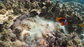 анемон : Clown Anemonefish, in their Sea Anemone. Amphiprion percula.Underwater coral garden with anemone and a pair of red clownfish. Clown Anemonefish, swimming among the tentacles of its anemone home. Travel concept. 4K video.