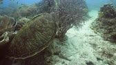 héj : Sea turtle between corals underwater. Wonderful and beautiful underwater world. Diving and snorkeling in the tropical sea. 4K video, Philippines.