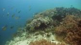 hloubka : Fish and coral reef. Tropical fish on a coral reef. Wonderful and beautiful underwater world with corals and tropical fish. Hard and soft corals. Diving and snorkeling in the tropical sea. Travel concept. 4K video. Dostupné videozáznamy