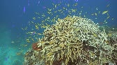 underwater video : Fish and coral reef. Tropical fish on a coral reef. Wonderful and beautiful underwater world with corals and tropical fish. Hard and soft corals. Diving and snorkeling in the tropical sea. Travel concept. 4K video. Stock Footage