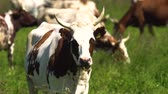 pastoreio : Cows graze on a green pasture on a summer day. Herd cows on a summer pasture. 4K video. Stock Footage