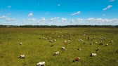 сельскохозяйственных животных : Aerial view cows graze on a green pasture on a summer day. Herd cows on a summer pasture. Aerial footage, 4K video. Стоковые видеозаписи
