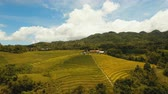 tepelik : Rice field with yellowish green grass. Aerial view: rice plantation with hilly mountains landscape. Terrace rice field from aerial view. Philippines, Bohol. 4K video. Aerial footage.