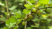 groselha : Grows ripe gooseberries on a branch.Green Gooseberries. Growing Organic Berries Closeup On A Branch Of Gooseberry Bush. Ripe Gooseberry In The Fruit Garden.