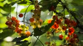 red currant : Red Currant hanging on a bush in the garden.Red currant ripening on the branch.Red currant close up.