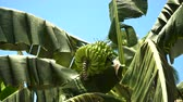banán : Green bananas on a tree. Banana flower on the tree. Bunch of bananas on tree. 4K video