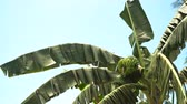 витамин : Green bananas on a tree. Banana flower on the tree. Bunch of bananas on tree. 4K video
