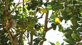 caju : Cashew fruits with nut (Anacardium occidentale) growing on a tree.Cashew nuts growing on a tree This extraordinary nut grows outside the fruit. Busuanga, Palawan, Philippines 4k Vídeos