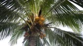 орешки : Green coconut at tree. Coconuts on a palm tree on a sunny day.4K video. Стоковые видеозаписи