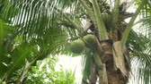 palmiye : Green coconut at tree. Coconuts on a palm tree on a sunny day.4K video. Stok Video