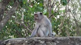 primát : Monkey at Sacred Monkey Forest, Ubud, Bali, Indonesia. Long-tailed macaques, Macaca fascicularis